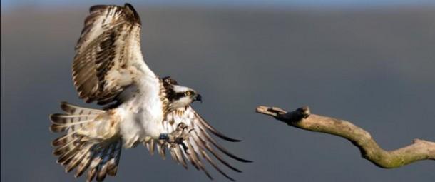 osprey gesni